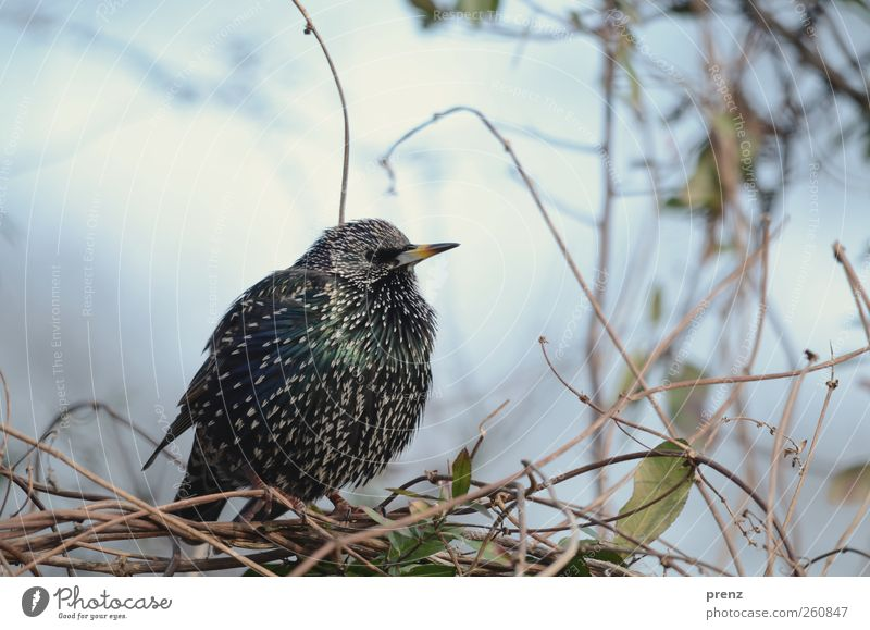 Nature Blue Plant Animal Black Environment Bird Wild animal Bushes Starling Plumed Songbirds Wild plant