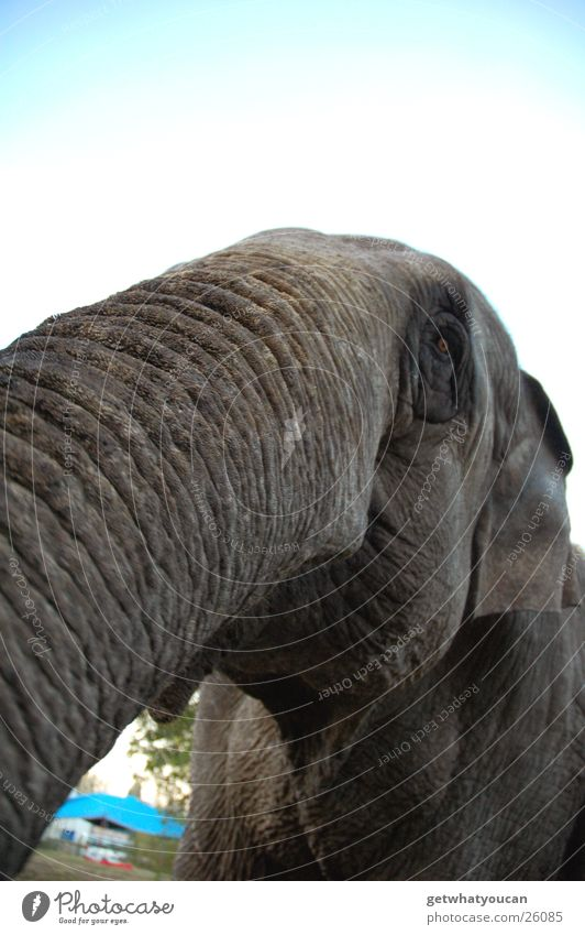 jumbo Elephant Circus Grief Trunk India Wide angle Near Large Gray Peace Captured Sadness Ear Sky Smooth