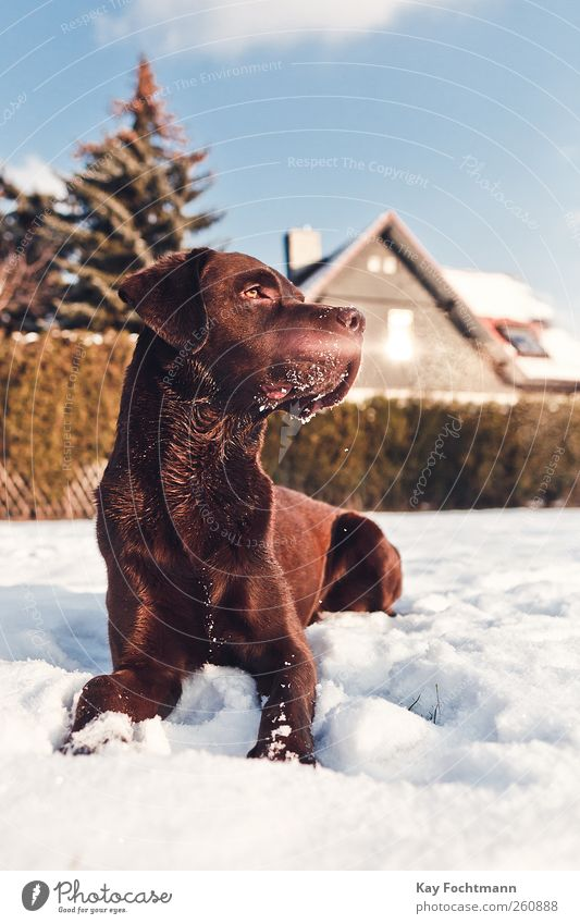 ... Happy Leisure and hobbies Flat (apartment) House (Residential Structure) Garden Beautiful weather Snow Tree Hedge Window Roof Pet Dog Labrador 1 Animal