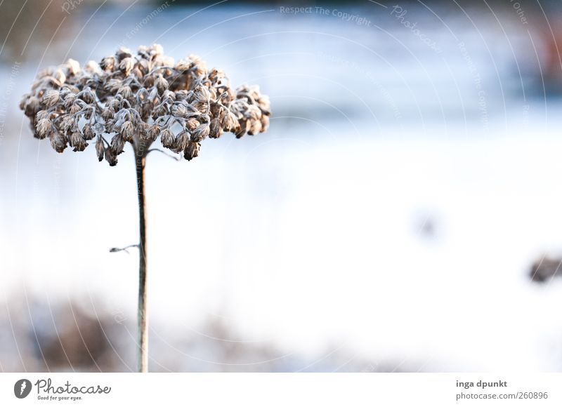 style Environment Nature Plant Elements Winter Ice Frost Flower Blossom Wild plant Lakeside Cold Gloomy Dry Blue White Concern Grief Disappointment Loneliness