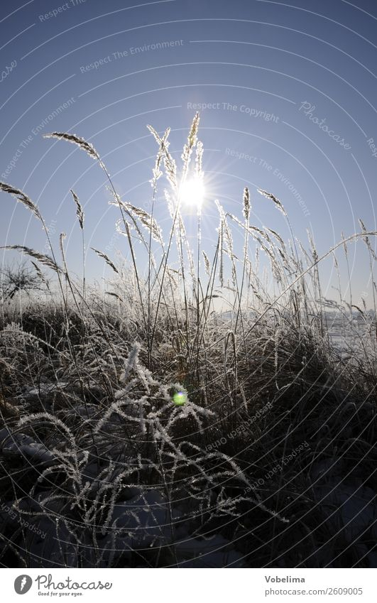 Grasses in winter with sun Sun Winter Nature Landscape Ice Frost Plant Field Cold Blue Gray White Snow Sky Colour photo Exterior shot Deserted Copy Space top
