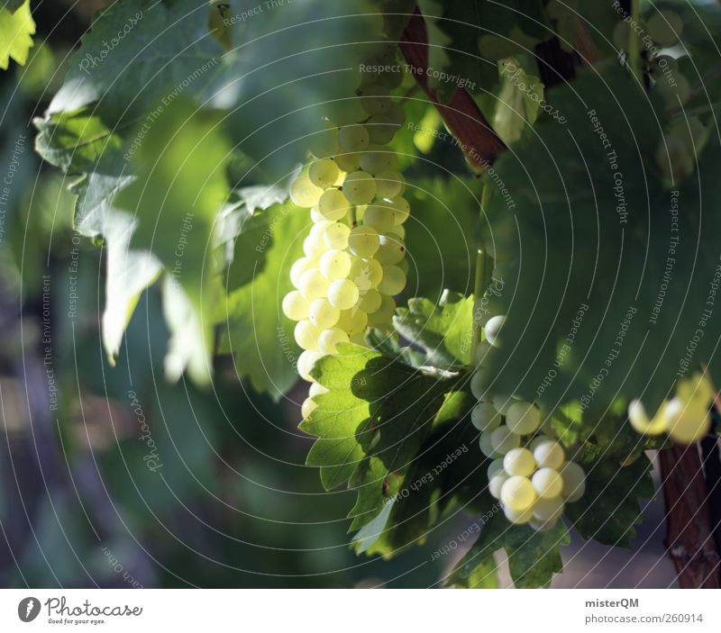 Wine receipt. Esthetic Green Vineyard Bunch of grapes Grape harvest Wine growing Culture Healthy Eating Noble Royal Mature Slope Leaf Italy Colour photo