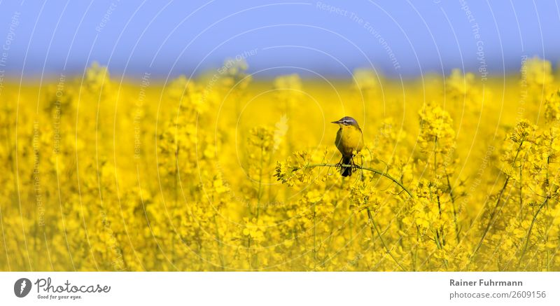 a wagtail sits in a rape field Agricultural crop Field Animal Wild animal 1 Nature Colour photo Exterior shot Copy Space left Copy Space right Copy Space top