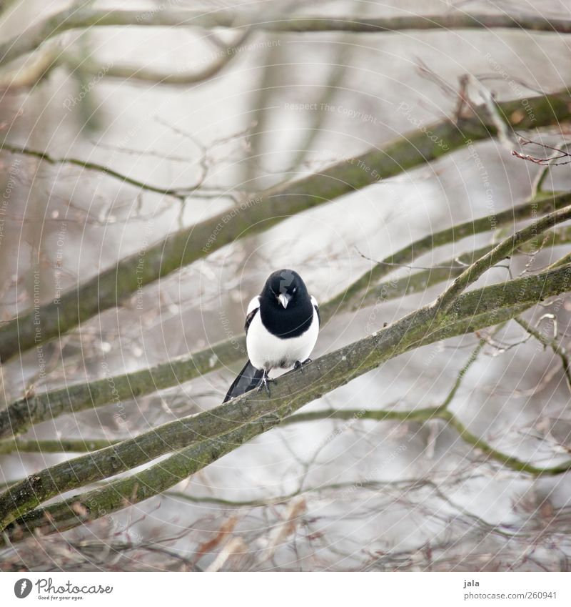 magpie Environment Nature Plant Animal Tree Wild plant Wild animal Bird Black-billed magpie 1 Sit Colour photo Exterior shot Deserted Day Shallow depth of field