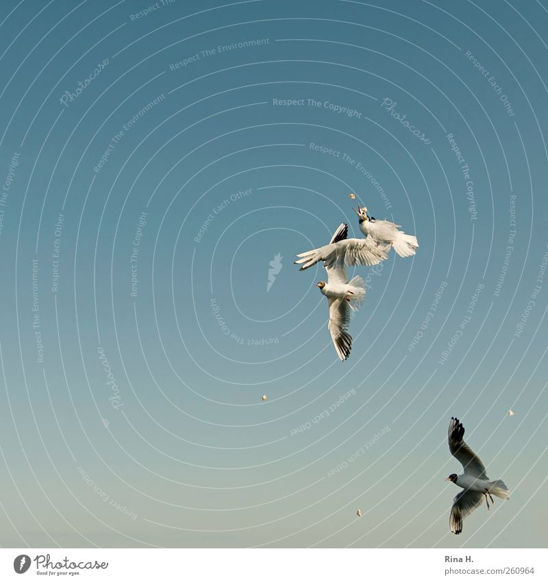 aerial combat Sky Sky only Summer Beautiful weather Bird seagull 3 Animal Flying To feed Feeding Fight Bright Blue Brave Aggression Effort Survive Martial arts