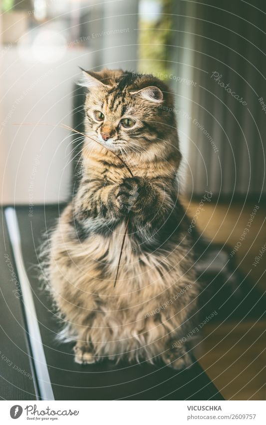 Funny cat sitting on hind legs Lifestyle Joy Playing Living or residing Flat (apartment) Animal Farm animal Cat 1 Design Cat eyes Cat's paw Sit Effortless