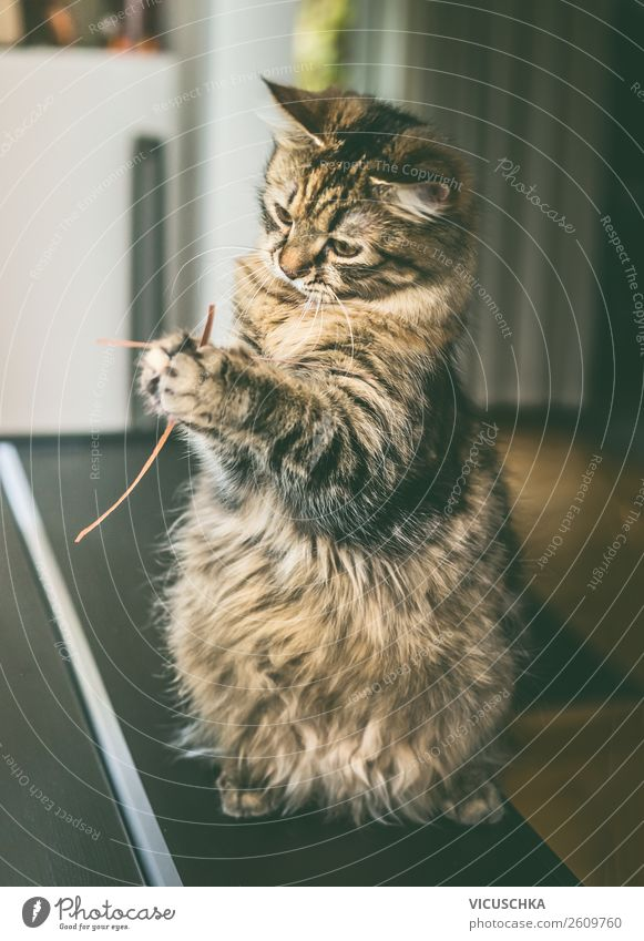 Cat sitting on hind legs playing with grass Lifestyle Living or residing Animal Pet 1 Joy Love of animals Design Playing Sit Interior shot Siberian cat Funny