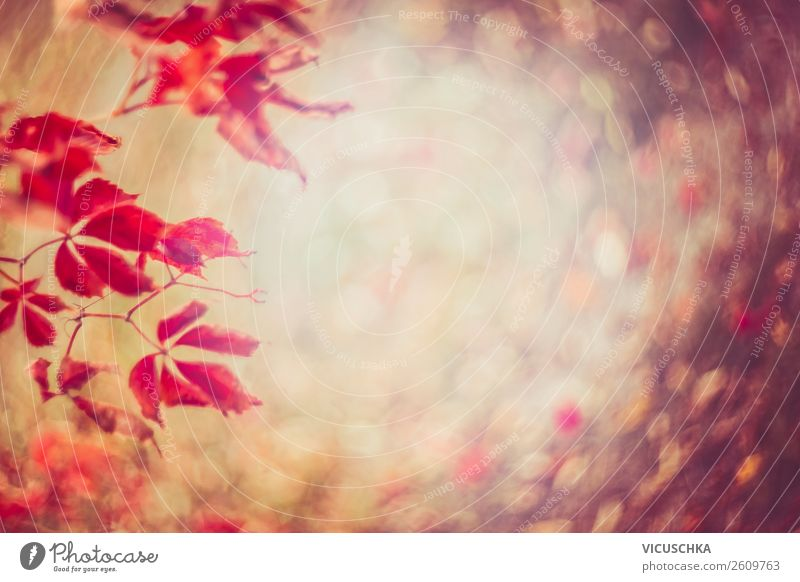 Red Wild Wine Autumn Leaves with Bokeh Lifestyle Design Garden Nature Plant Leaf Park Pink Background picture Autumn leaves Virginia Creeper Blur Colour photo