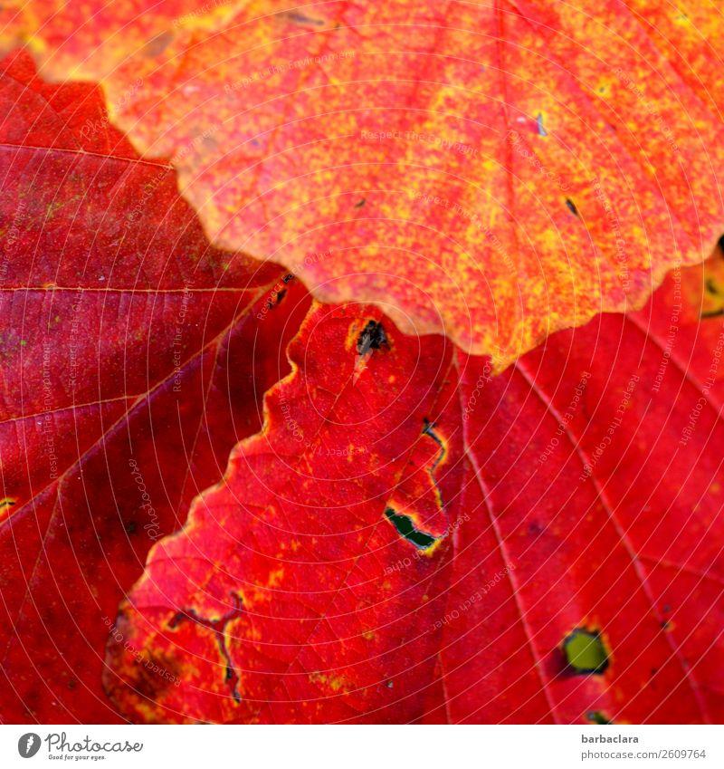 Nature Plant Colour Red Leaf Autumn Moody Illuminate Bushes Climate Change Expectation