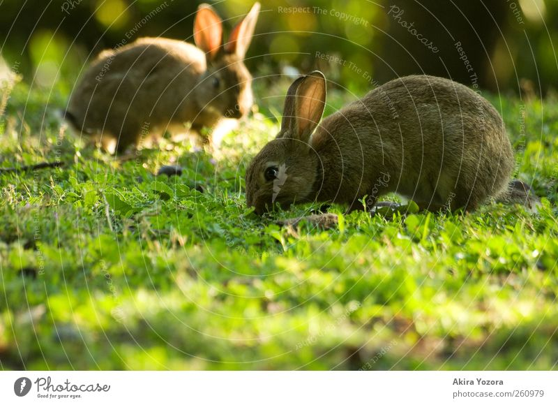 Joint lawn care II Nature Sunlight Spring Summer Beautiful weather Meadow Animal Pet Farm animal Hare & Rabbit & Bunny 2 To feed Free Brown Yellow Green