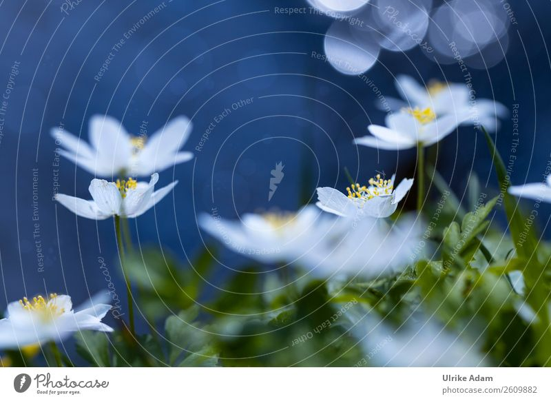 Wood anemone - flowers and nature Wellness Life Harmonious Well-being Contentment Relaxation Calm Meditation Spa Swimming pool Decoration Wallpaper Image
