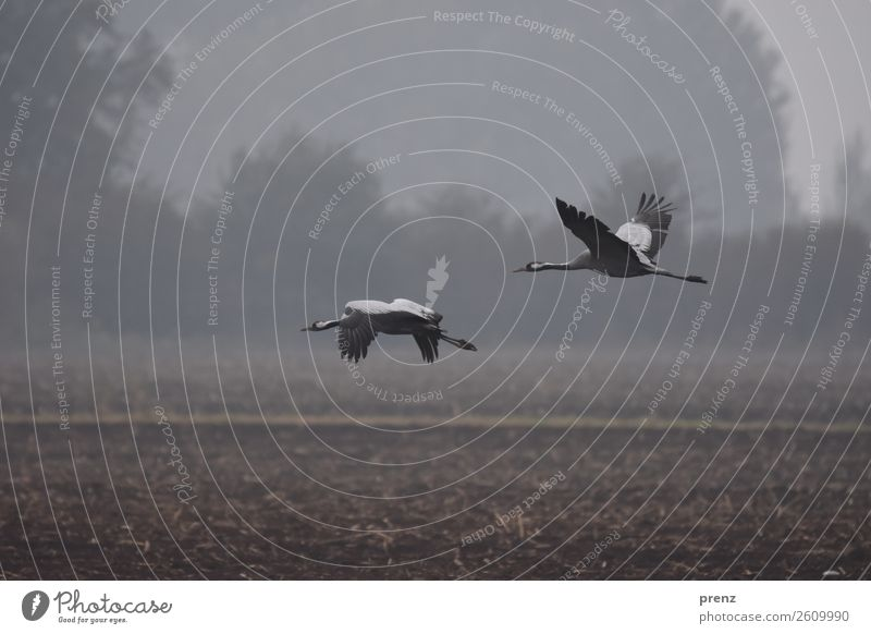 cranes Environment Nature Landscape Animal Autumn Fog Field Gray Floating 2 Beautiful Colour photo Exterior shot Deserted Copy Space top Day