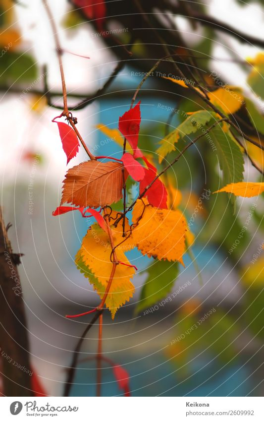 Colorful beech foliage Nature Landscape Autumn Tree Life Senses Vacation & Travel Beech tree Beech leaf Leaf Blue Yellow Red Green Turquoise Twig Vine leaf