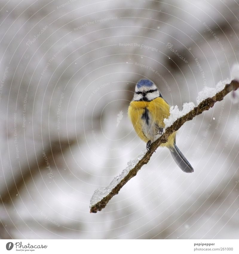 blue(ice)e Nature Winter Ice Frost Snow Snowfall Wild animal Bird Animal face Claw 1 Crouch Sit Cold Blue Yellow Tit mouse Multicoloured Exterior shot Deserted