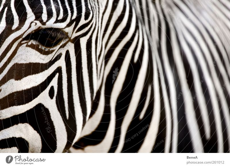 zebra Vacation & Travel Tourism Zoo Pelt Zebra Head Neck Hide Eyes Pattern Exotic Wild Soft Black White Environment Safari Contrast Stripe Parallel Muddled