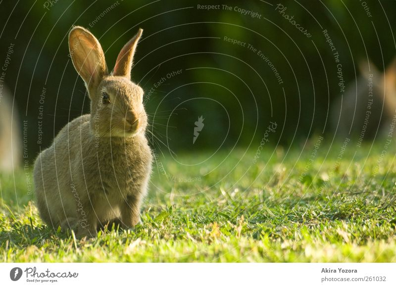 Wait and be silent Nature Bushes Meadow Animal Pet Wild animal Hare & Rabbit & Bunny 1 Observe Looking Sit Brown Green Black Trust Safety Environment