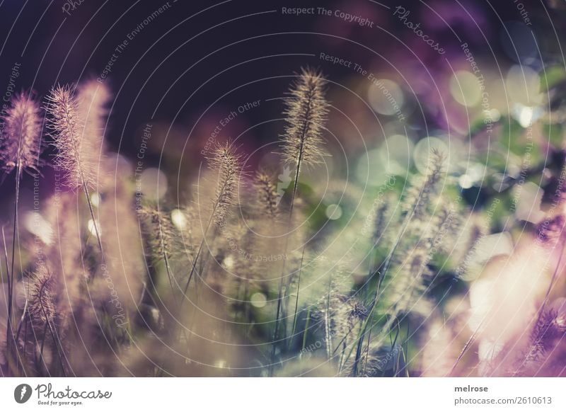 Flowering grasses with bokeh Environment Nature Sunlight Autumn Beautiful weather Plant Grass Bushes Blossom Wild plant Grass blossom Garden Play of colours