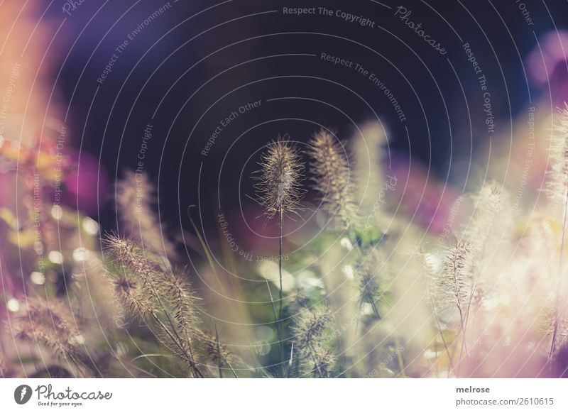 Flowering grasses with bokeh Environment Nature Sunlight Autumn Beautiful weather Plant Grass Bushes Blossom Wild plant Grass blossom Garden Patch of colour