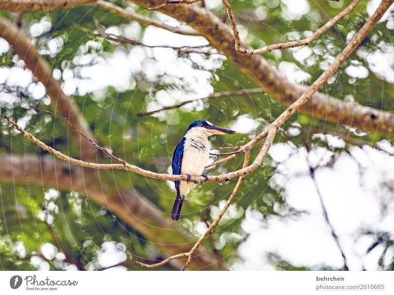 guard Far-off places Tree Branch Freedom Kingfisher Blue Vacation & Travel Adventure Trip Malaya leaves Tourism Nature Exotic Fantastic Animal face Bird