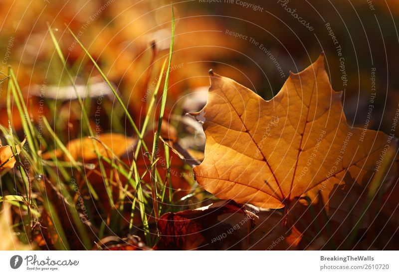 Close up yellow Autumn maple leaf on the ground Nature Plant Earth Beautiful weather Grass Leaf Park Forest Brown Yellow Gold Orange Maple leaf Seasons Colour