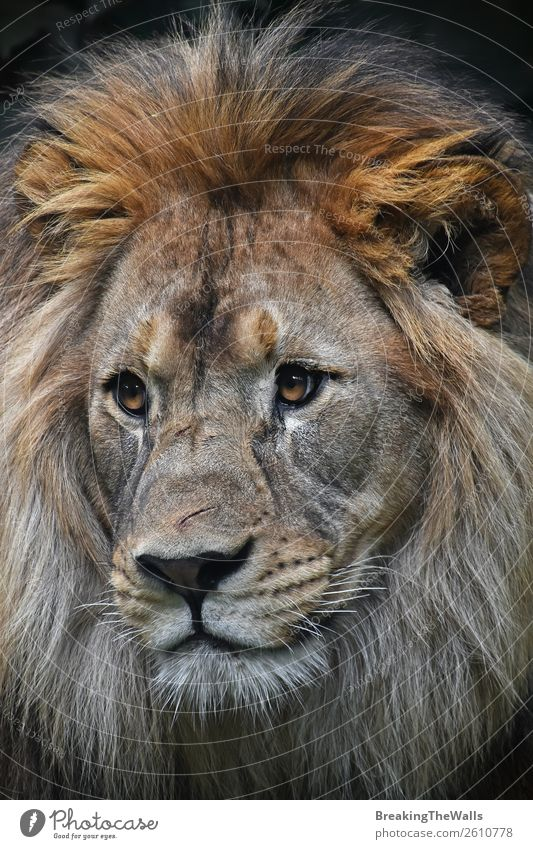 Close up front portrait of male African lion Animal Wild animal Animal face Zoo 1 Lion Lion's mane Head Eyes Snout Face to face wildlife Scratched Scratch mark