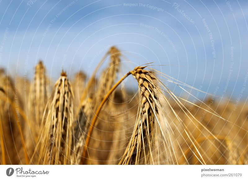 grain Nature Landscape Sky Clouds Horizon Sun Sunlight Summer Autumn Beautiful weather Wind Warmth Agricultural crop Field Fragrance Loneliness Colour To enjoy