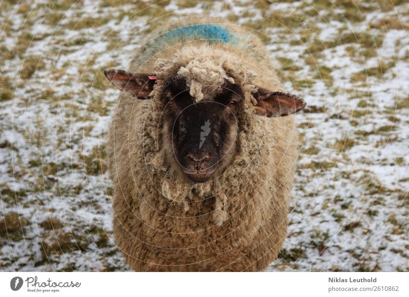 Sheep on meadow with snow Environment Sunlight Winter Ice Frost Snow Grass Foliage plant Meadow Animal Farm animal Animal face Pelt 1 Fat Dirty Friendliness