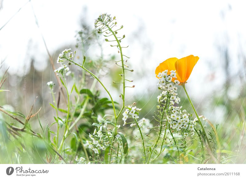 silver cabbage Nature Plant Horizon Autumn Flower Grass Leaf Blossom Wild plant Poppy Poppy blossom Beach Silverweed Mountain madwort Garden Meadow Blossoming