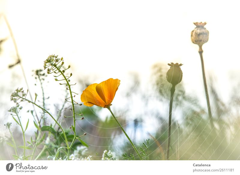 poppy seed and field fairlead Nature Plant Sky Autumn Flower Grass Bushes Leaf Blossom Poppy Poppy capsule field clarion weed Meadow Field Blossoming Fragrance