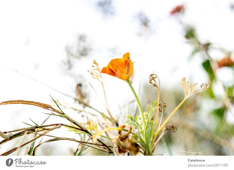 fade Nature Plant Sky Autumn Flower Grass Leaf Blossom Poppy blossom Garden Meadow Blossoming Faded To dry up Beautiful Brown Green Orange Moody Endurance
