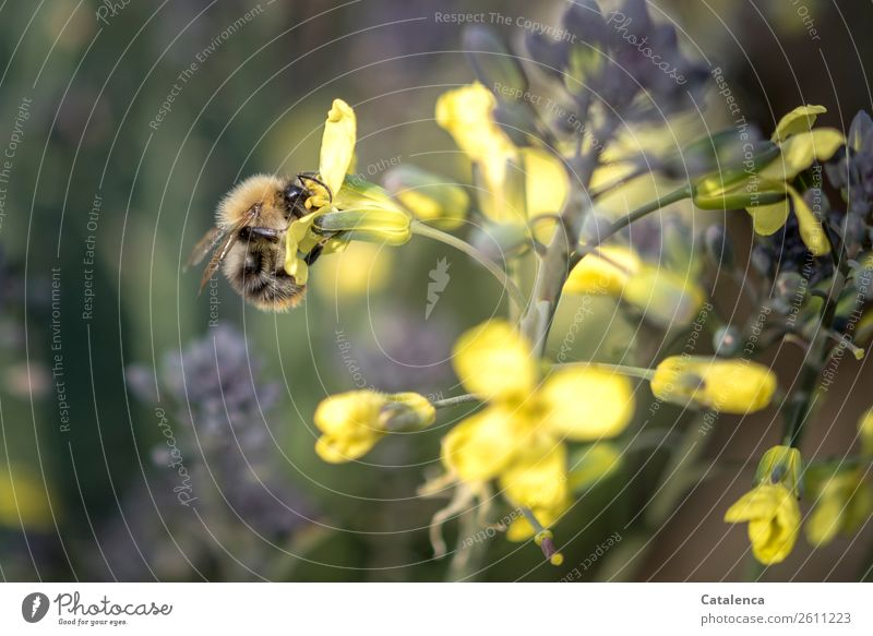 A bumblebee Nature Plant Animal Autumn Leaf Blossom Agricultural crop Broccoli Vegetable garden Wild animal Insect Bumble bee wild bee 1 Flying To feed Hang