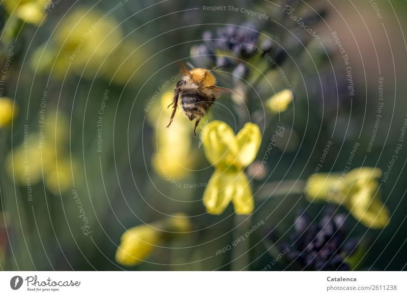 on the way Nature Plant Animal Summer Leaf Blossom Agricultural crop Broccoli Garden Vegetable garden Bumble bee wild bee 1 Blossoming Flying Natural Brown