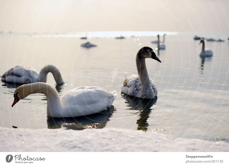 Swan lake. Environment Nature Landscape Animal Sky Horizon Sun Winter Beautiful weather Ice Frost Snow Waves Lakeside Wing Flock Baby animal Animal family Cold