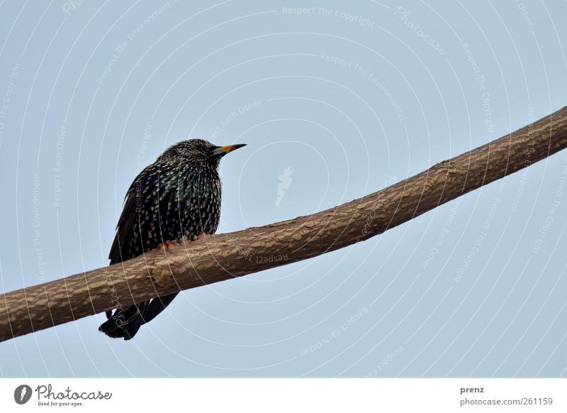 Blue Animal Black Bird Sit Branch Tilt Cloudless sky Starling Songbirds