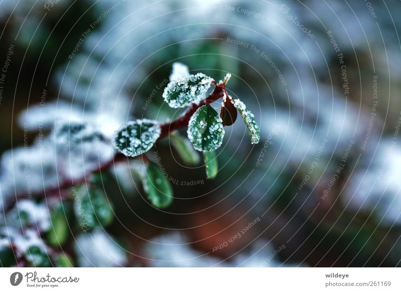 High Sugar Contentment Nature Plant Winter Bushes Leaf Foliage plant Wild plant small leaves Green Macro (Extreme close-up) Ice crystal Snowfall Stalk Garden