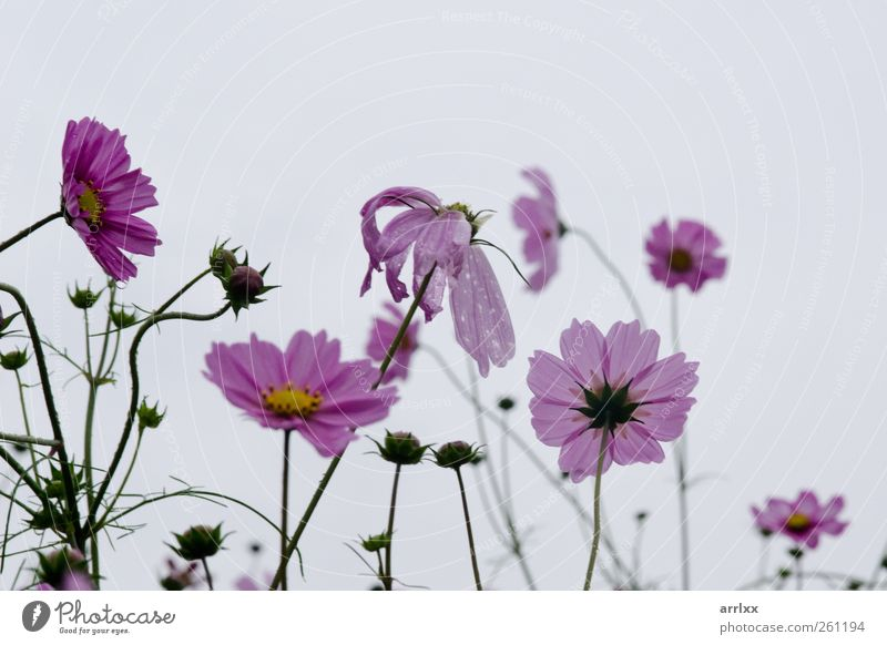 Der Sommer geht vorbei / Pink cosmos flowers in backlight Sky Nature Water Plant Summer Flower Colour Clouds Loneliness Yellow Autumn Garden Blossom Rain Wet