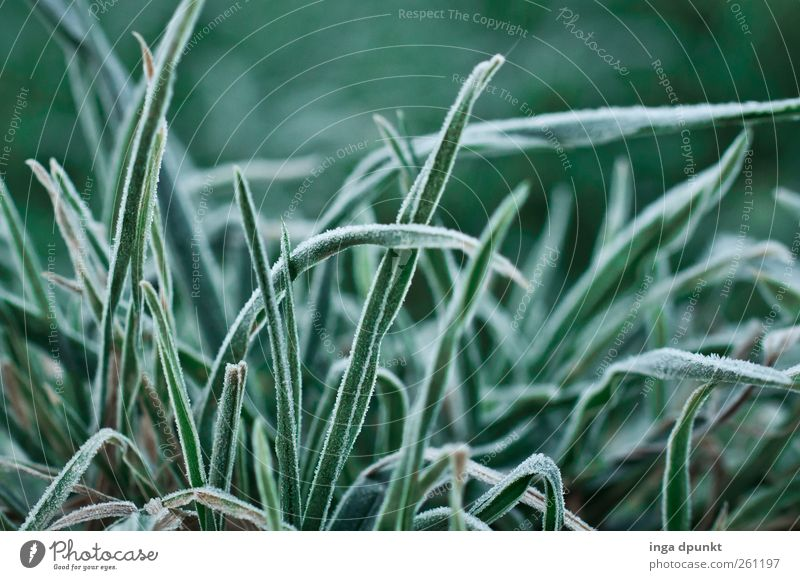 View into the grass Environment Nature Plant Winter Climate Weather Ice Frost Grass Leaf Foliage plant Wild plant Garden Meadow Hoar frost Frozen Cold Green