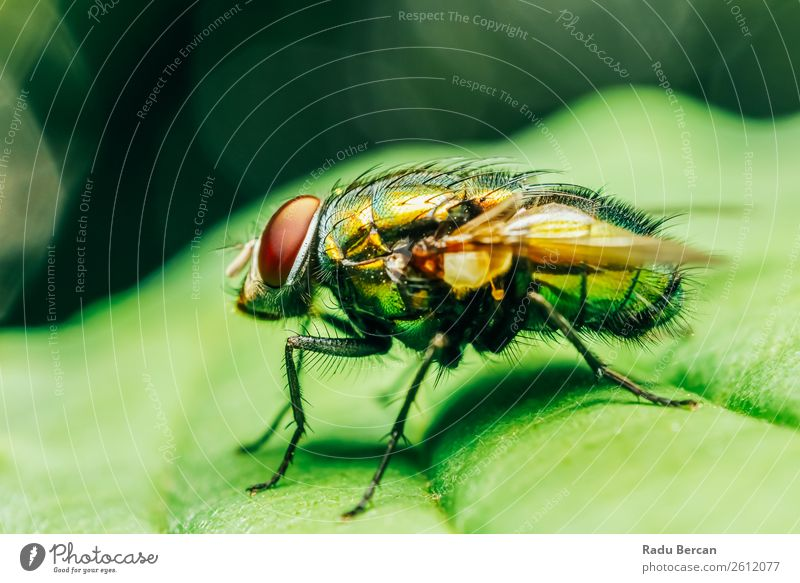 Housefly On A Leaf In Garden Nature Summer Plant Colour Green Red Animal Black Environment Natural Grass Small Wild Park