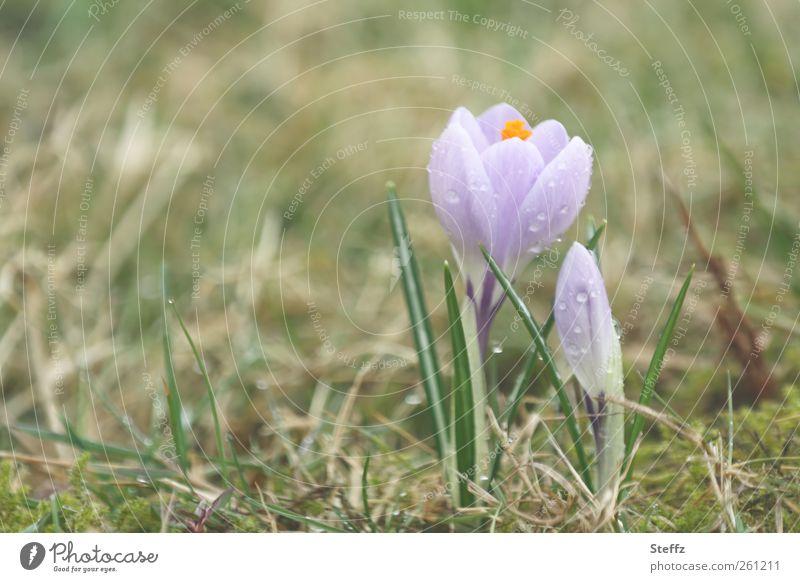 tender heralds of spring crocus Crocus Spring crocus Blossom blossom Spring flowering plant delicate blossoms tender flowers Decent delicate colours