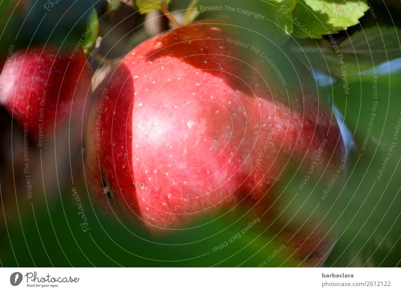 A bashful apple with a wormhole Fruit Apple Nature Plant Autumn Climate Leaf Apple tree Garden Wormhole Illuminate Fresh Delicious Natural Red Health care