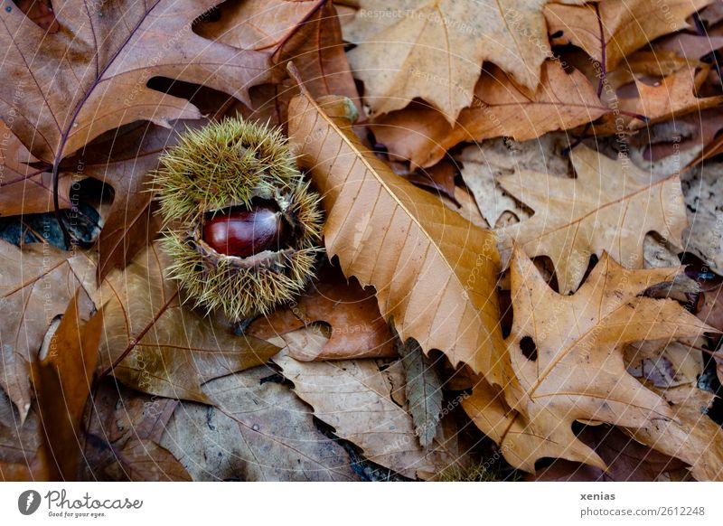 A shiny chestnut on brown autumn leaves Chestnut Autumn flaked Park Forest Round Thorny Brown green Autumn leaves Ground Chestnut tree Beech family Nut fruit