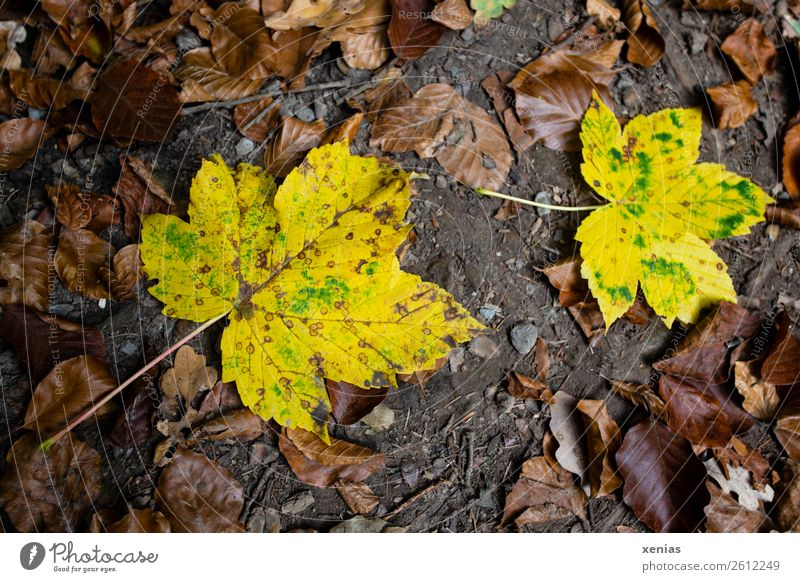 Two yellow autumn leaves lie on forest soil Maple leaf Autumn flaked Brown Yellow Ground Limp Autumn leaves Seasons Exterior shot Autumnal Nature