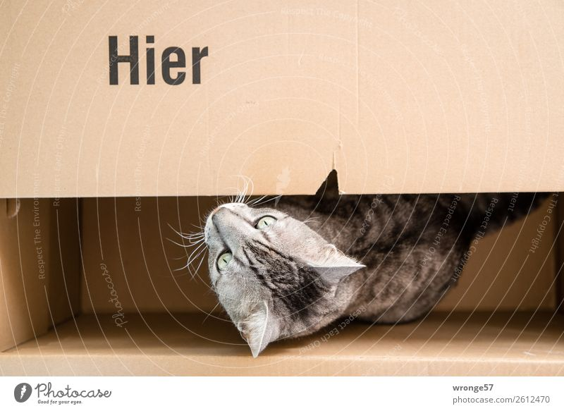 Here's a hangover in a box. Animal Pet Cat 1 Funny Brown Gray Domestic cat Cardboard Animalistic Colour photo Subdued colour Interior shot Deserted