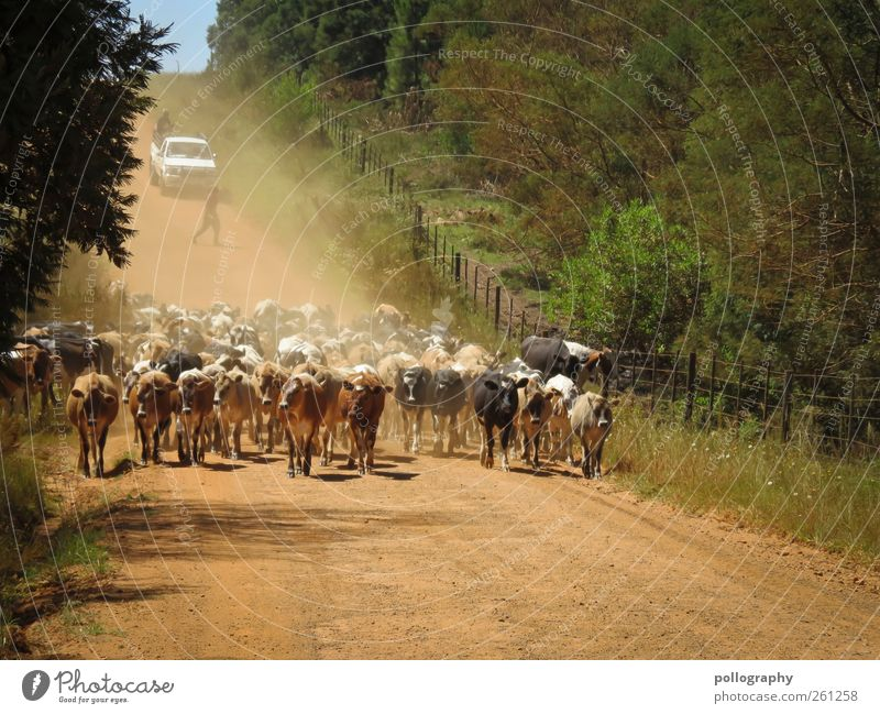 rush hour Human being 2 Environment Nature Landscape Plant Animal Earth Sky Summer Beautiful weather Warmth Tree Bushes Farm animal Cow Group of animals Herd