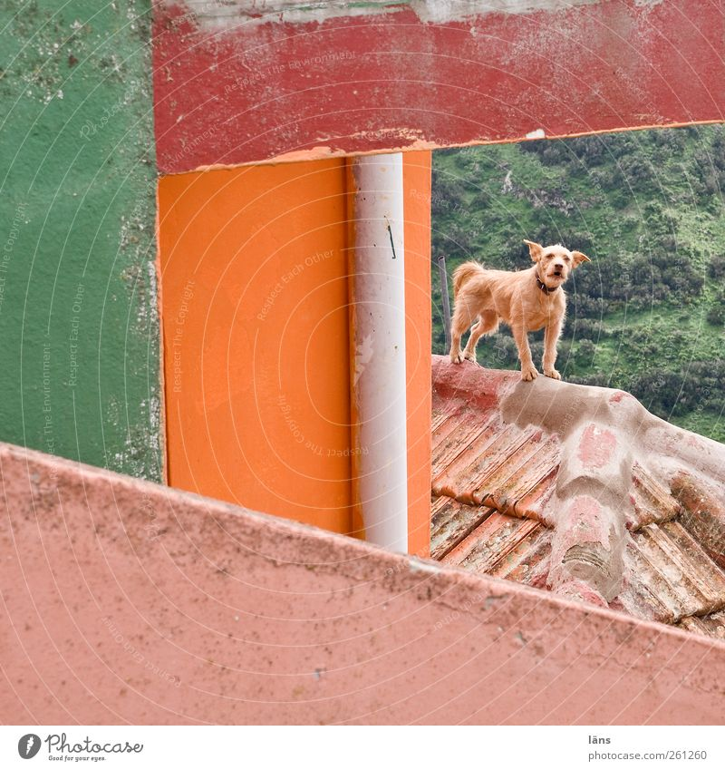 territory House (Residential Structure) Building Wall (barrier) Wall (building) Facade Roof Pet Dog 1 Animal Brave Passion Protection Attentive Watchdog