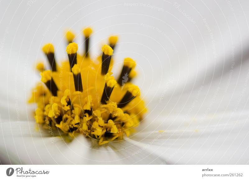 Sommerblütenträume / Detail of a white cosmos flower Nature White Beautiful Plant Summer Colour Yellow Autumn Garden Blossom Bright Esthetic Happiness