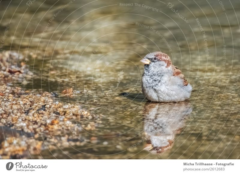 Sparrow with mirror image Nature Animal Sunlight Beautiful weather Brook Wild animal Bird Animal face Wing Passerine bird Beak Feather 1 Mirror