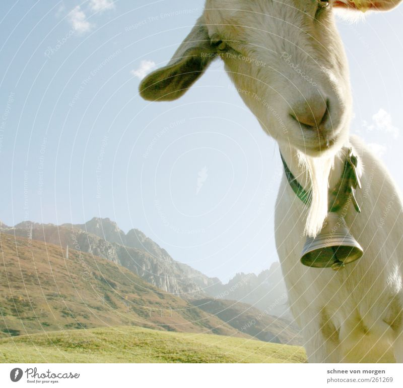 "candid Animal Farm animal Goats 1 Looking Funny ""mountains Alps Switzerland Cheese Bell herdsman Green meadows Hill Landscape Peak Willow tree Nature Sky"