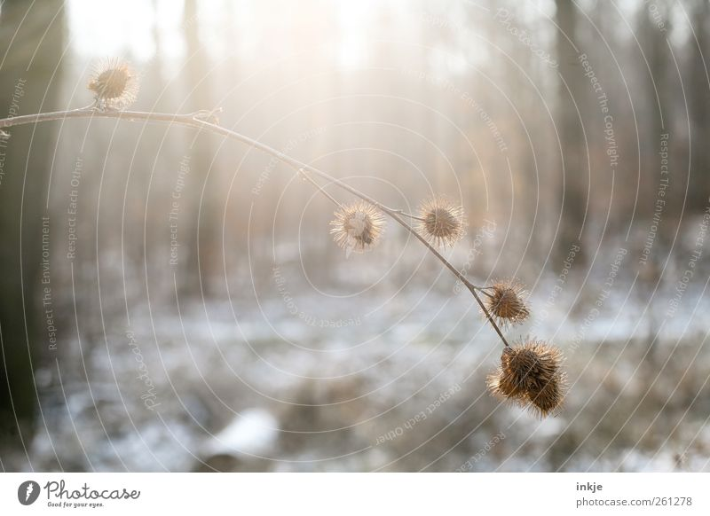 In the morning in the cold Environment Nature Sunlight Winter Climate Beautiful weather Snow Plant Bushes Thistle Seed Tree Tree trunk Branch Twig Park Forest