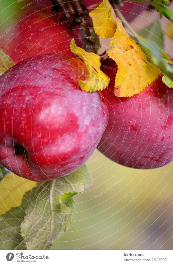 Red-cheeked Elstar apples on the tree Fruit Apple Nature Plant Autumn Climate Tree Leaf Apple tree Garden Hang Illuminate Firm Fresh Healthy Glittering